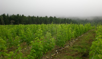 Vineyards - Mist & Vines